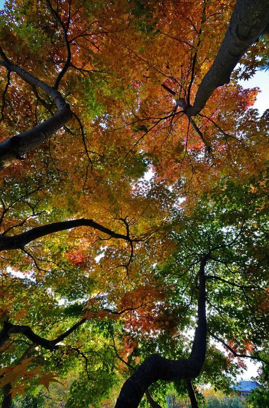 fall foliage momiji モミジ 紅葉