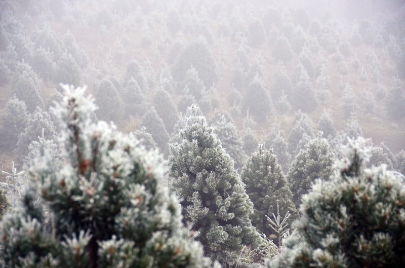 hoarfrost christmas trees fog freeze