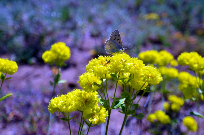 butterfly yellow flowers wagner butte southern oregon