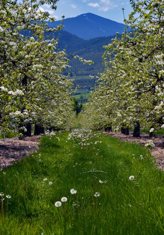 phoenix oregon talent pear blossoms southern rogue valley nikon d7000 70-300mm vr