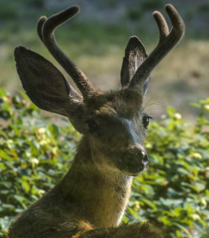 male deer ashland oregon