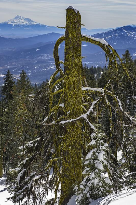 mt shasta mossy tree snow