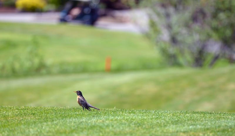 robin on eagle point golf course southern oregon bird