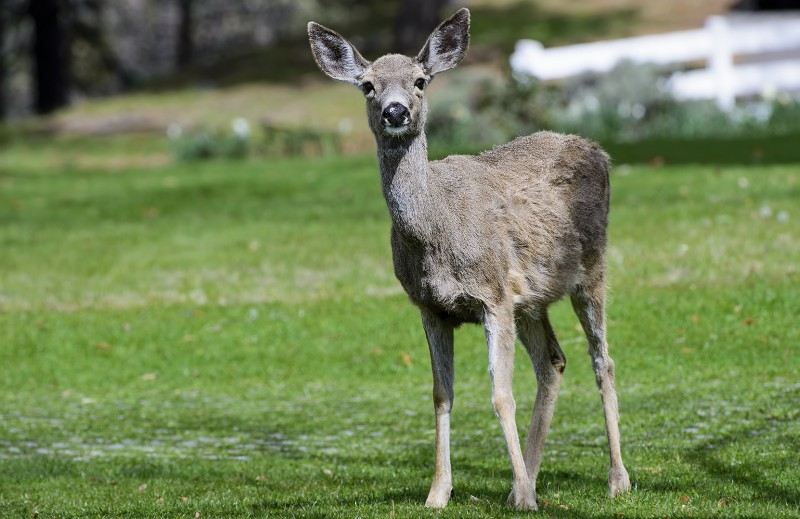 ashland oregon deer al case photography ashland daily photo