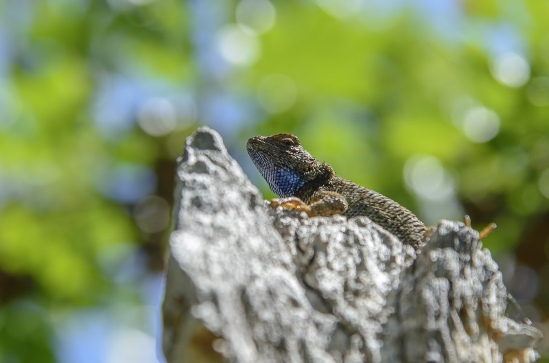 lower table rock lizard