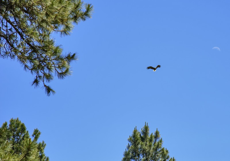 Beatty Oregon bald eagle
