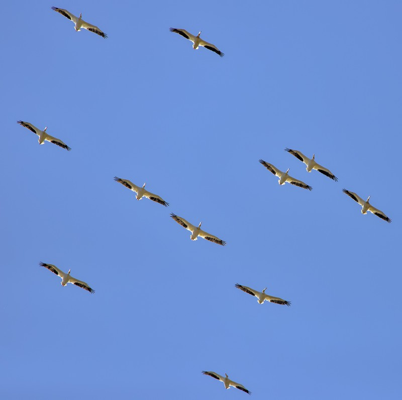 beatty ranch pelicans flock