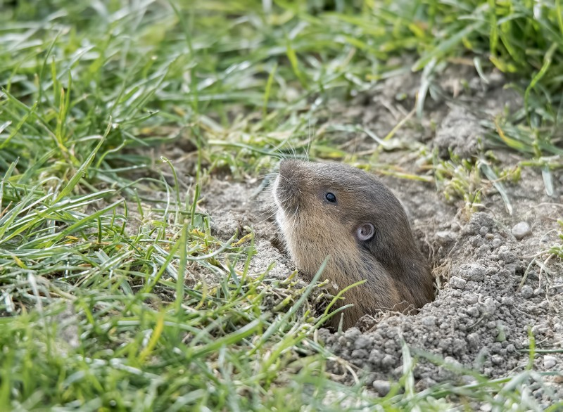 southern oregon university field mole groundhog muscrat gopher
