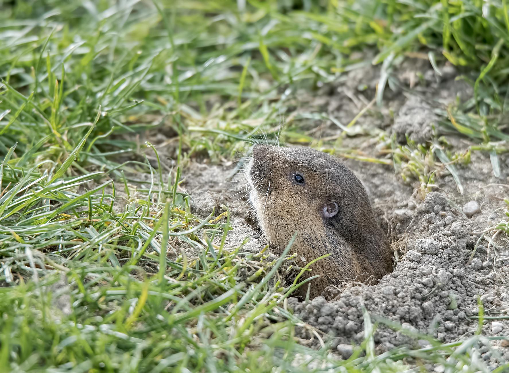 southern oregon university field mole groundhog muscrat gopher