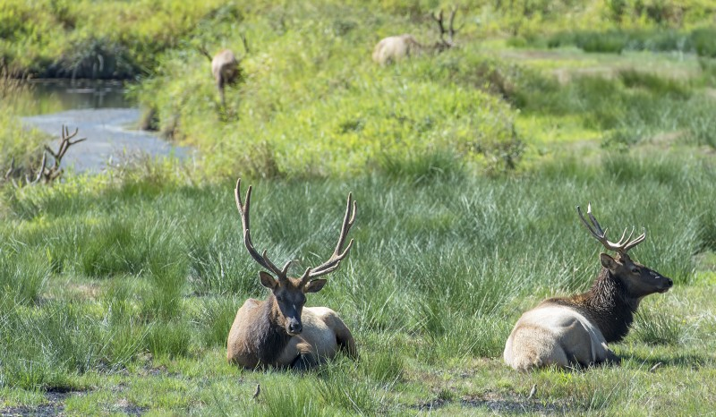 elk near umpqua river reedsport