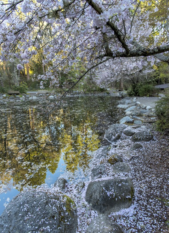 lithia park upper duck pond cherry blossoms