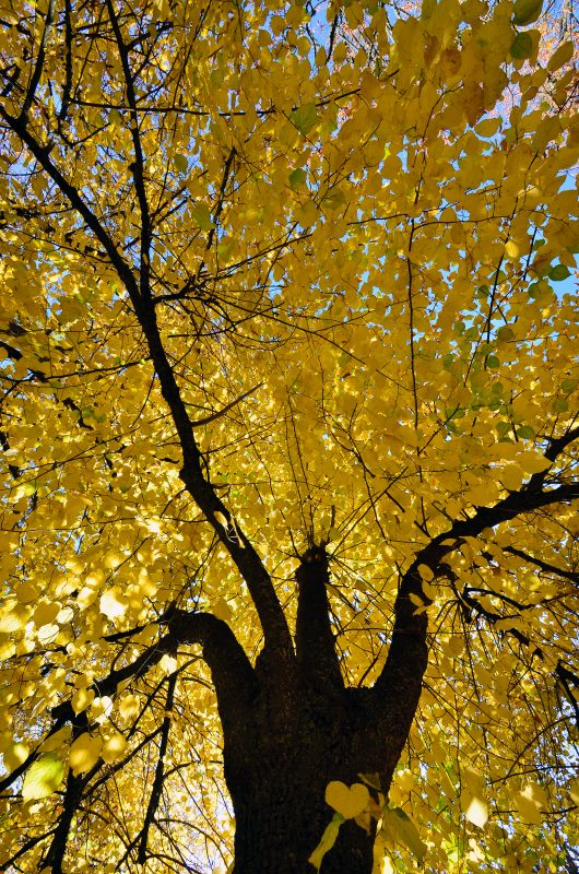 fall foliage heart tree yellow leaves autumn