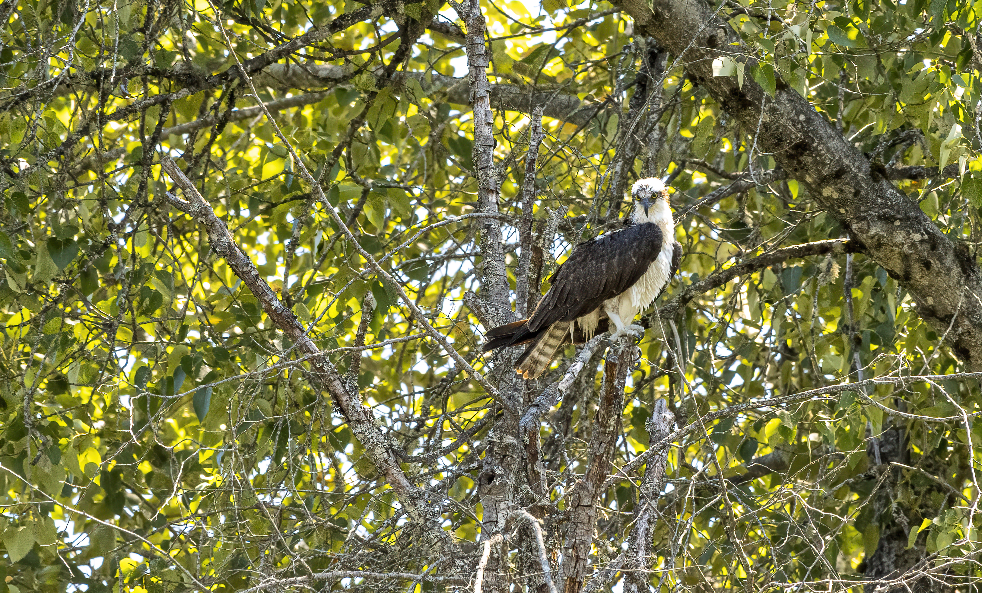 osprey bird oregon rogue river shady cove