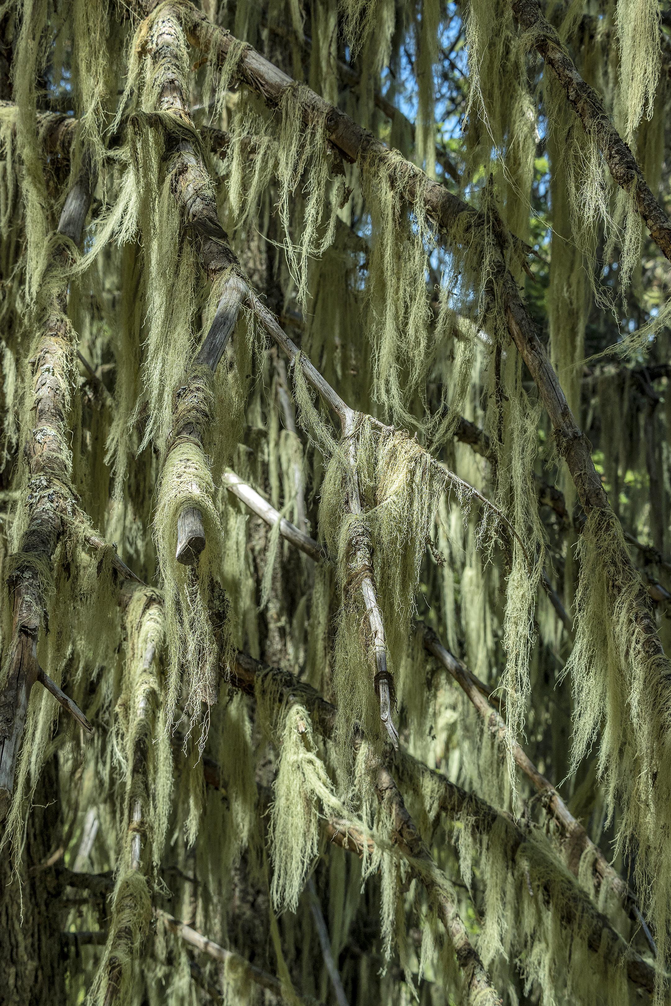 grizzly peak tree moss