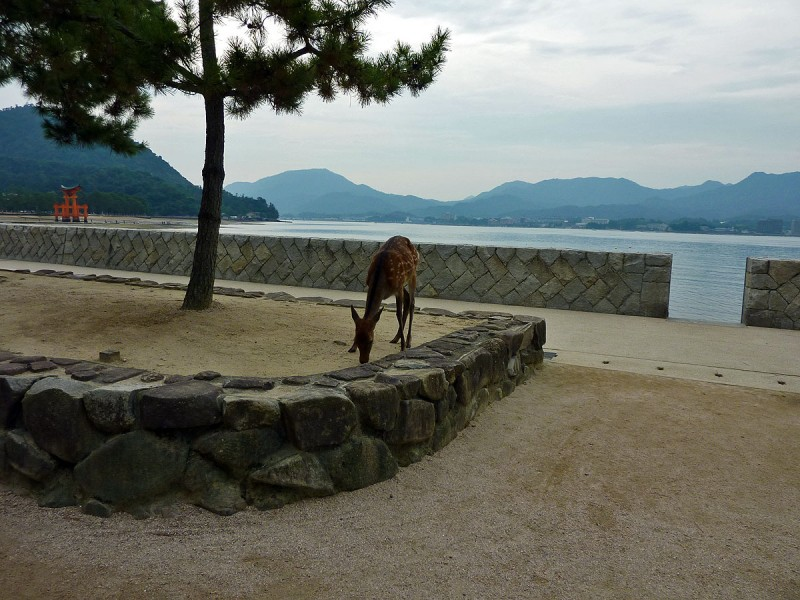 miyajima deer torii shrine japan