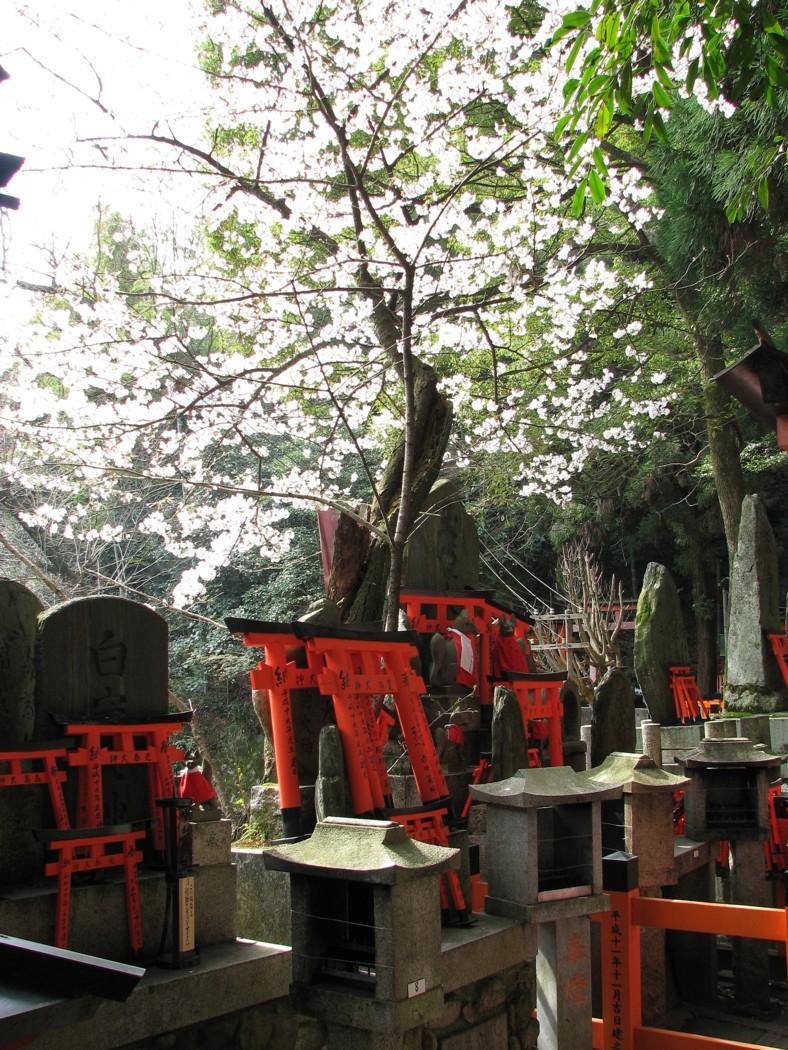 Fushimi Inari Taisha 伏見稲荷大社 鳥居 torii sakura