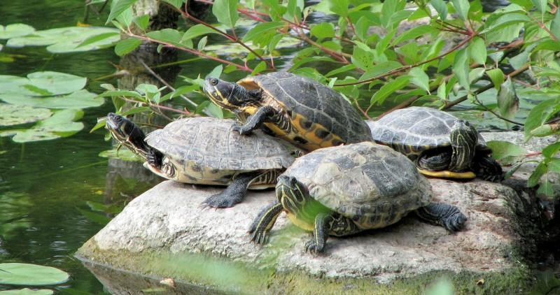 mating turtles in the botanical gardens