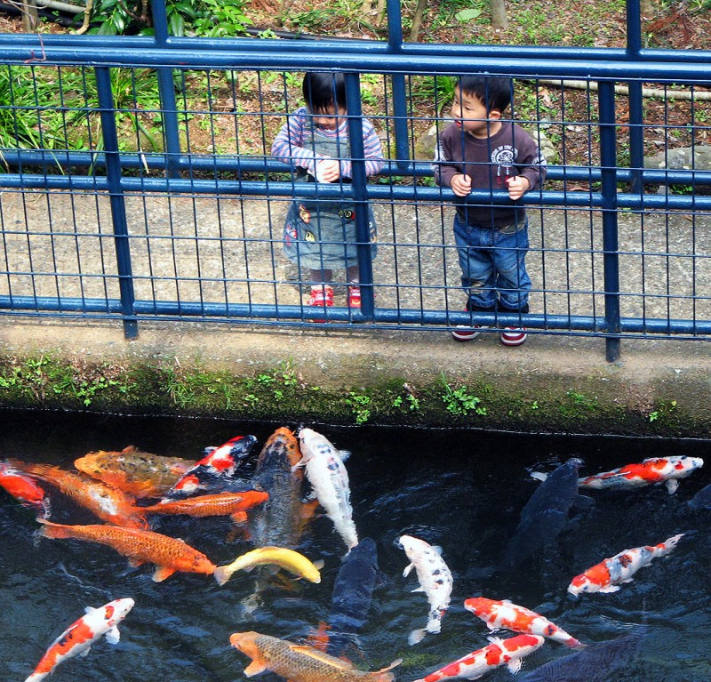 japanese children carp koi