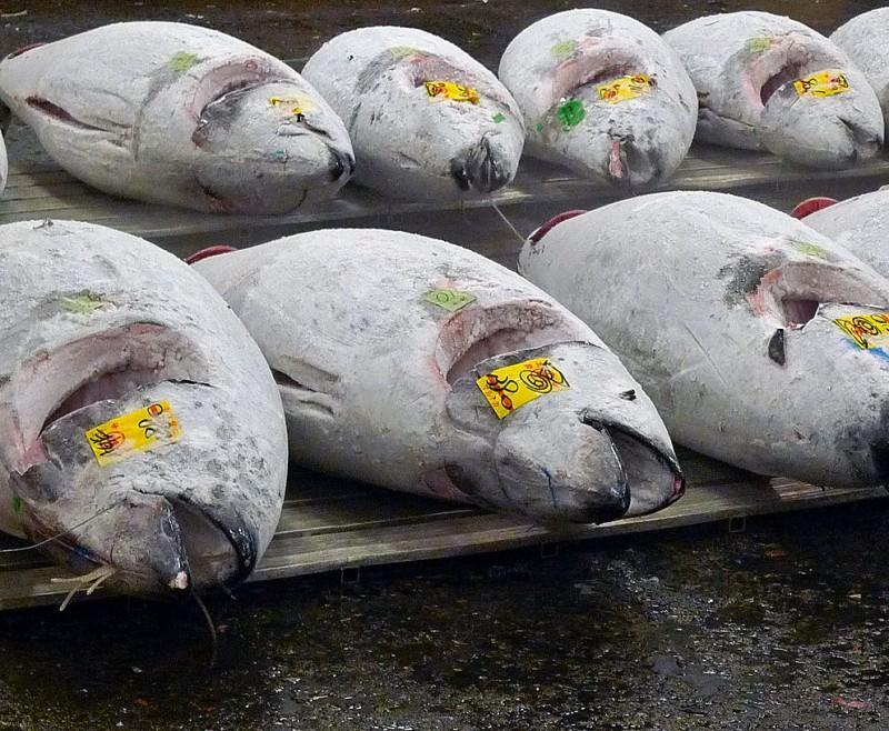 frozen tuna maguro at tsukiji fish market tokyo japan