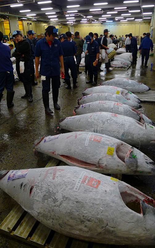 tuna auction tsukiji tokyo japan maguro