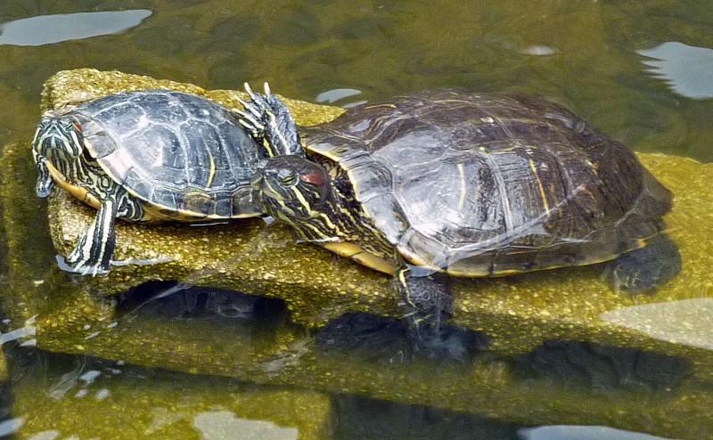 japanese turtles