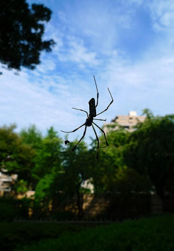 蜘蛛 spider kumo