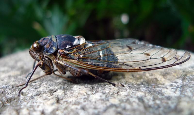 蝉 semi cicada locust tokyo japan