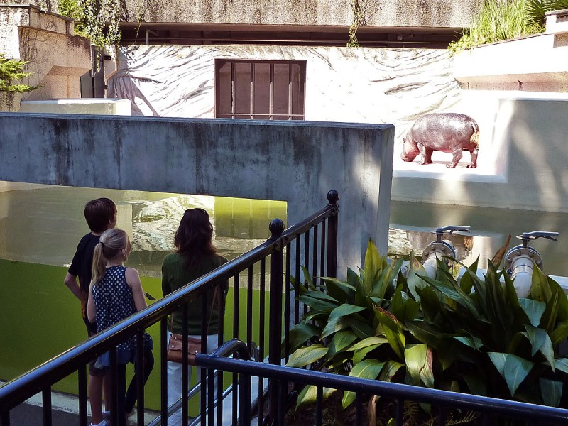 viewing the hippos at ueno zoo ヒポポタマス kaba カバ