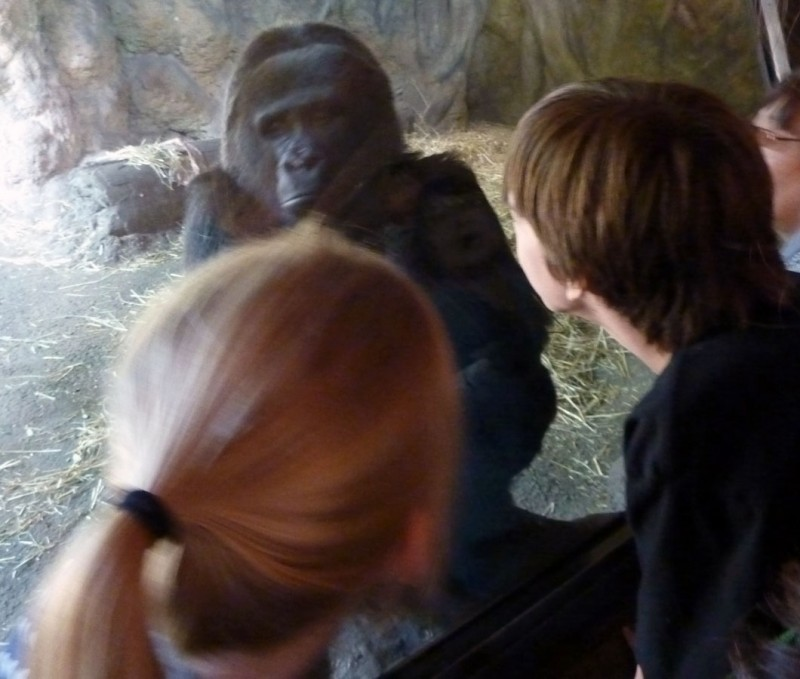 meet gorilla face to face at ueno zoo tokyo japan