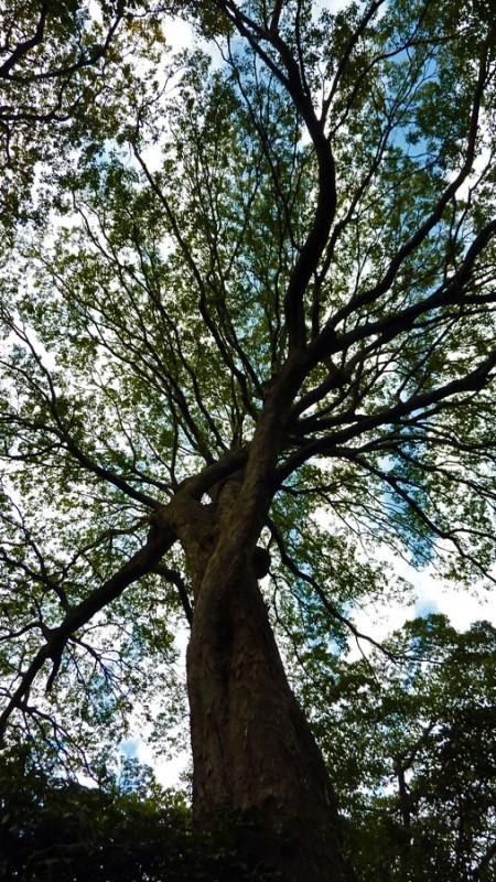 japanese tree meguro tokyo japan