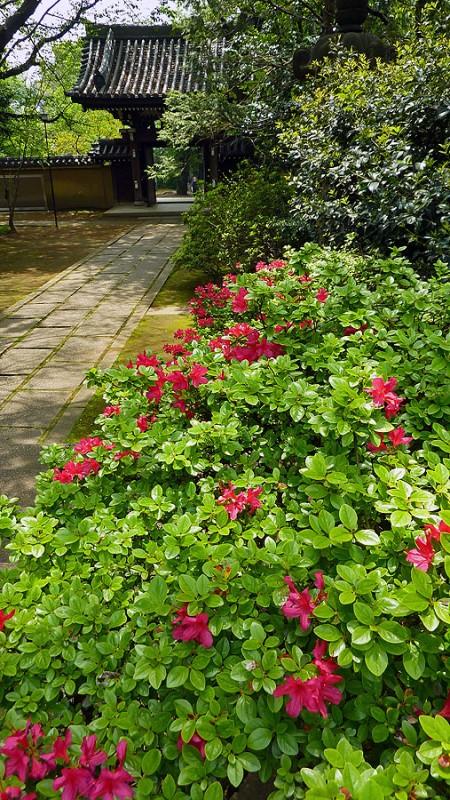 azalea flowers in ikebukuro at homeiji
