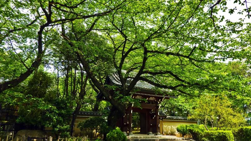 japanese buddhist temple gate homeiji maple leaf in spring ikebukuro tokyo japan