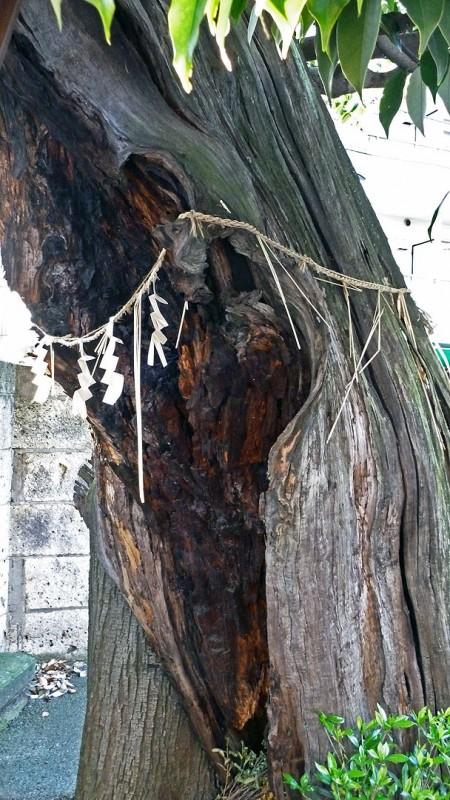 椎の木 シイノキ