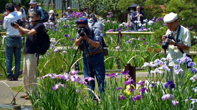 iris 花菖蒲 hanashobu
