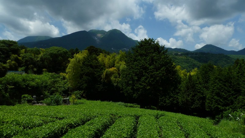 japanese tea fields
