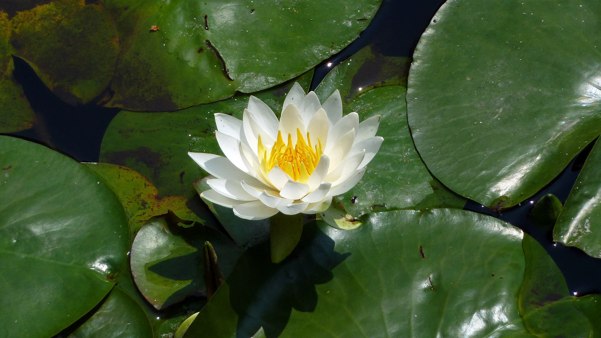 The lotus and the lily pads traveljapanblog the lotus and the lily pads izmirmasajfo