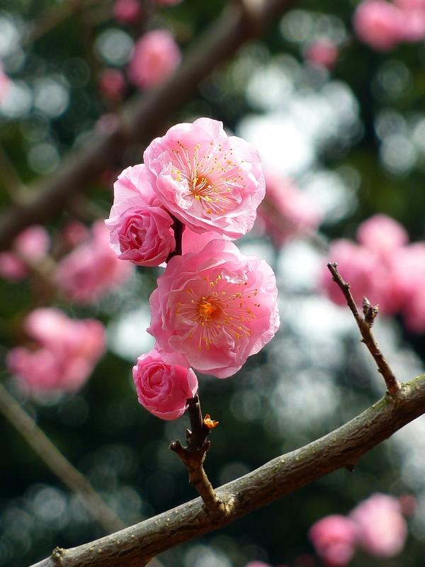 暈け  ボケ boke bokeh ume plum blossom