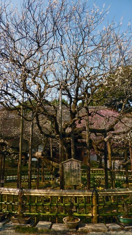 京王百草園 Keio Mogusaen plum blossom ume