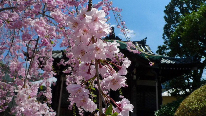 桜 japan tokyo cherry blossoms