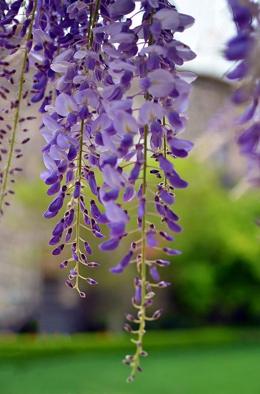 wisteria purple flower 藤 fuji