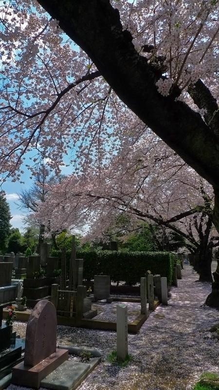 Yanaka Cemetery 谷中霊園 tokyo japan cherry blossoms