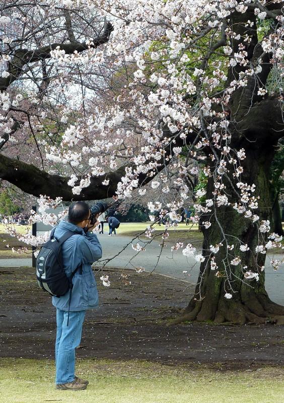新宿御苑 桜 写真者
