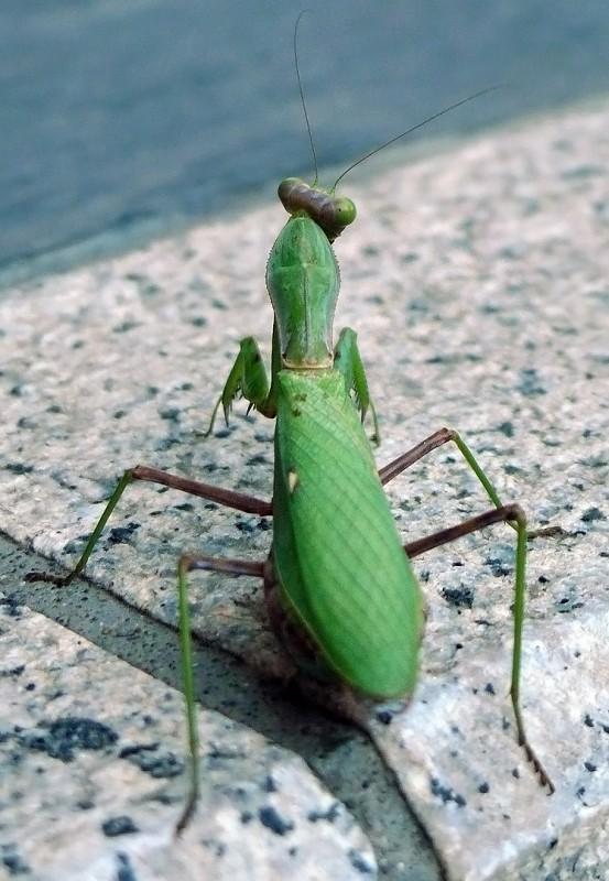 螳螂 toro praying mantis hasedera kamakura japan とうろう
