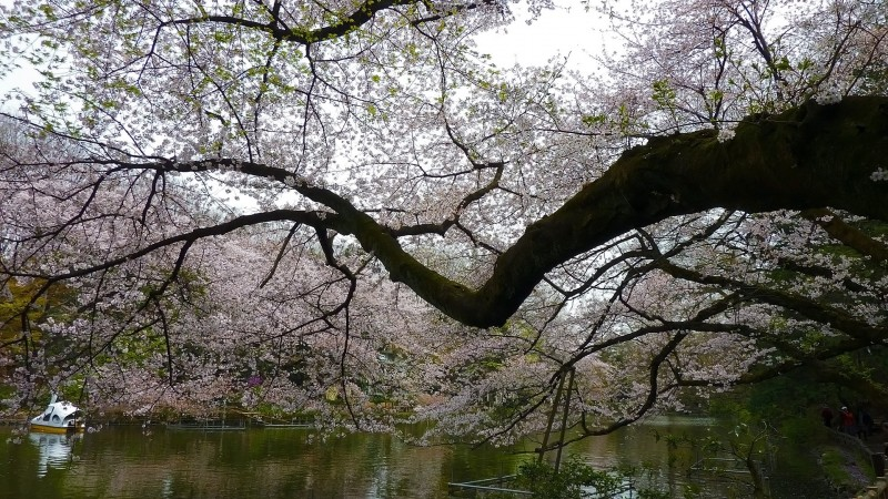 japan cherry blossom viewing tokyo