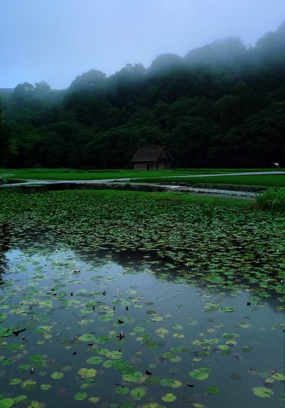 rice paddies japan lotus pond