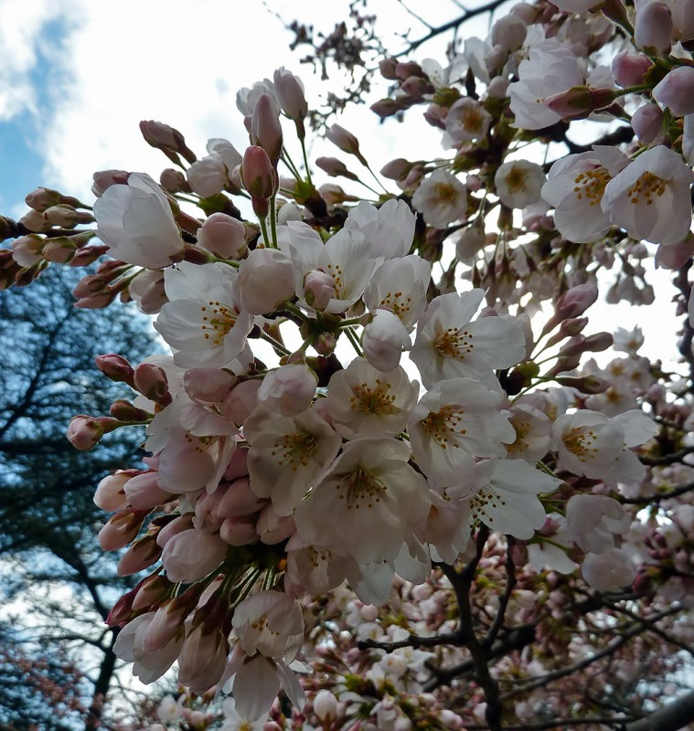 tokyo sakura cherry blossoms