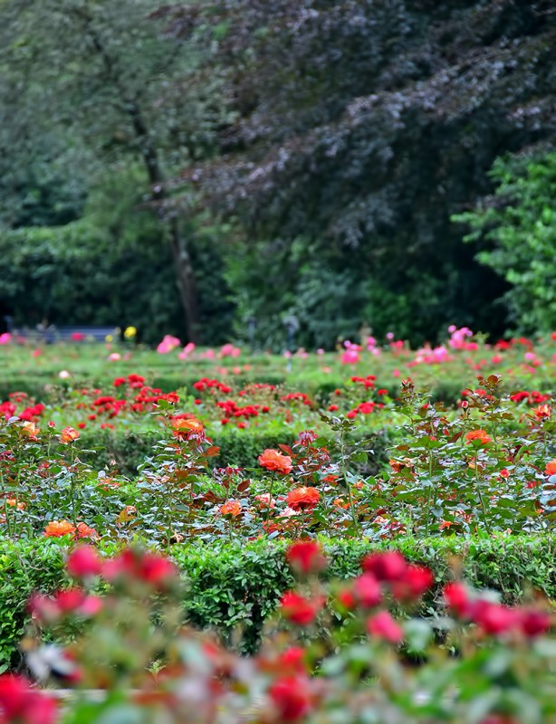 vondelpark rose garden rosarium