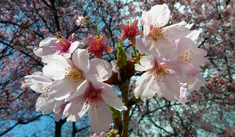 japanese cherry blossoms tokyo japan
