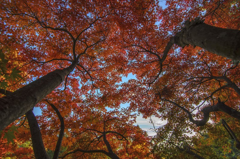 japanese maples fall autumn