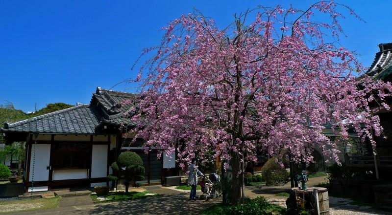 yanaka sakura Tennoji 天王寺